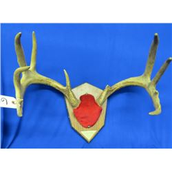 Mounted White Tail Rack