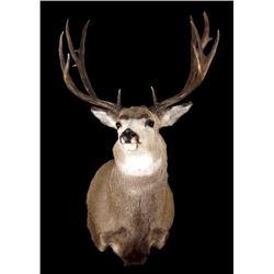 Irregular Montana Mule Deer Trophy Shoulder Mount