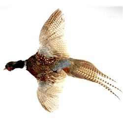 Montana Flying Pheasant Mount