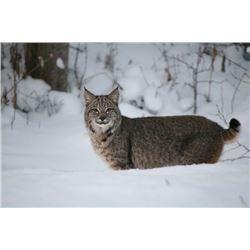 Coyote & Bobcat Hunt for One Hunter