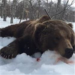 Russian Brown Bear Hunt, Kamchatka, 1 Hunter