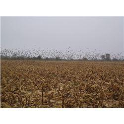 Argentina Dove Hunt for 4 Hunters