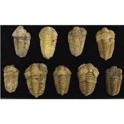 9 Trilobite Fossils