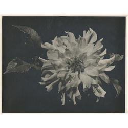 Ernest Bachrach (6) fine art still life photographs of flowers.