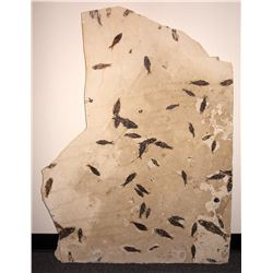 Green RiverFossil Fish Slab