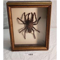 Large Tarantula in Shadow Box