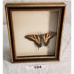 Butterfly in Shadow Box
