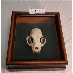 Animal Skull in Shadow Box