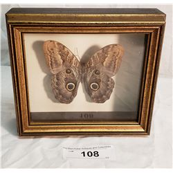 Large Moth in Shadow Box