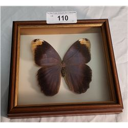 Very Large Moth in Shadow Box
