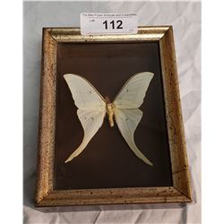 Large Butterfly in Shadow Box