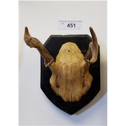 Mounted Animal Skull w/Horns