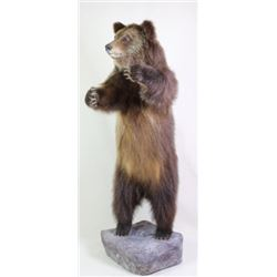 Mounted standing small Grizzly bear