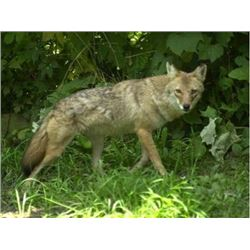 SE MICHIGAN – GUIDED COYOTE HUNT FOR TWO HUNTERS