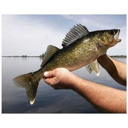 MICHIGAN/OHIO - HALF DAY WALLEYE FISHING CHARTER FOR 4 ANGLERS