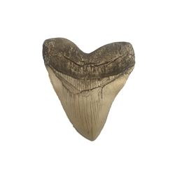 The Meg Megalodon Movie Prop Tooth