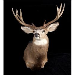 Trophy Montana Mule Deer Shoulder Mount