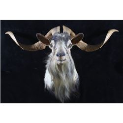 Catalina Island Goat Shoulder Mount