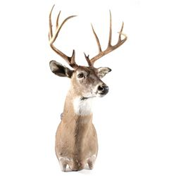 Montana Trophy White Tail Shoulder Mount