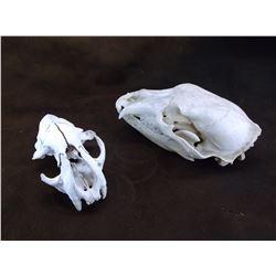 """2 Bear Skulls- 10"""" X 5.5""""- 8"""" X 4.5"""""""