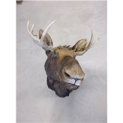"Moose Mount- 31""W- Good Shape"