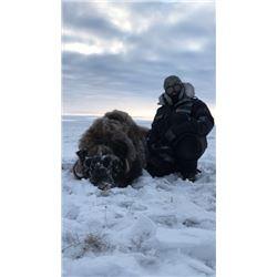 2019 - 2020 Victoria Island Muskox Hunt All Inclusive 5 day hunt