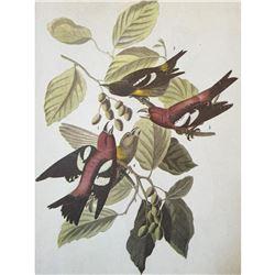 c1946 Audubon Print, # 364 White-Winged Crossbill