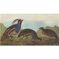 c1946 Audubon Print, #423 Mountain Quail