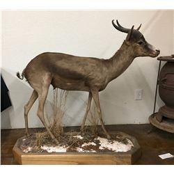 Springbok Full Body Taxidermy