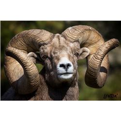 World Record Ram framed print Giclee on Canvas