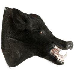 """Wild Boar Trophy Mount, H 21"""", D 20"""""""