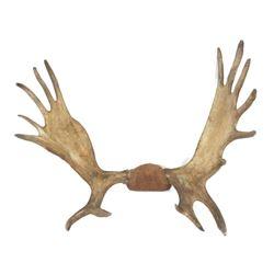 Vintage Moose Antler Mount