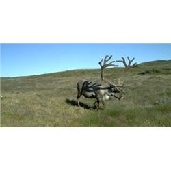 Greenland Caribou* and Muskox Combo Hunt