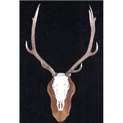 Montana 6X6 Trophy Bull Elk European Mount
