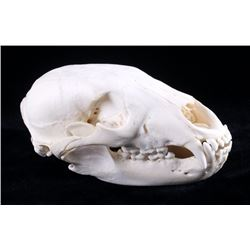 Montana Black Bear Taxidermy Skull