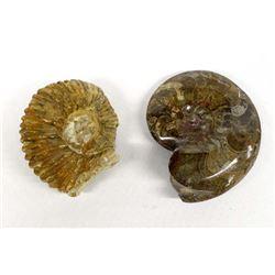2 Ammonite Fossils