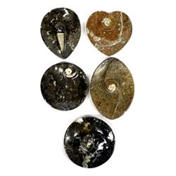5 Orthoceras Fossil Trays