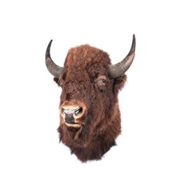 "South Dakota Bison Wall Mount, 25"" horn to horn"
