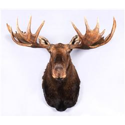 "Alaskan Moose Mount, 71"" wide"
