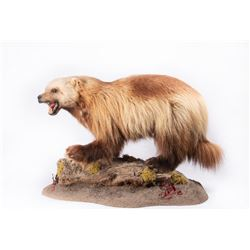 "Alaskan Wolverine Mount, 22"" x 33"" x 15"""