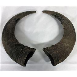 Trophy Buffalo Horns