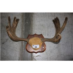 MOOSE ANTLER WALL MOUNT