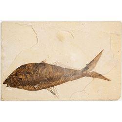 Diplomystus Fossil  (61551)