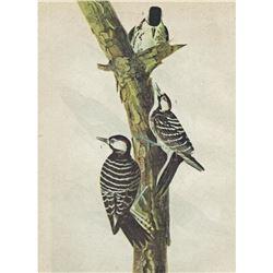c1946 Audubon Print, #389 Red-Cockaded Woodpecker