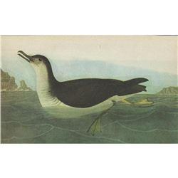 c1946 Audubon Print, Manx Shearwater #295
