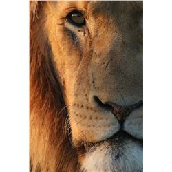 "30"" x 20"" Lion Photo on Canvas"