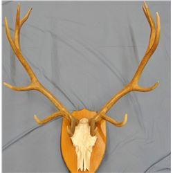 Elk antlers, European mt, 6 pt