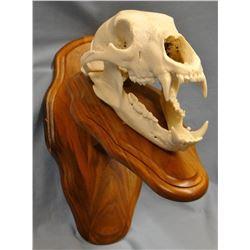 Bear skull, European mount