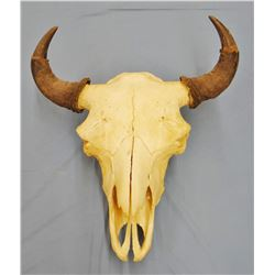 Buffalo skull with horn caps