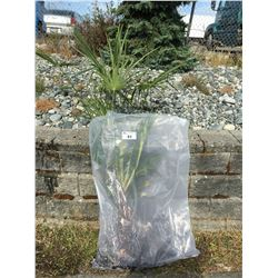 WINDMILL PALM TREE (BARE ROOT READY FOR RE-PLANTING) P